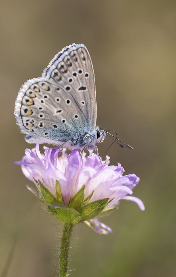 Little blueish butterfly on top of a violet flower blossom
